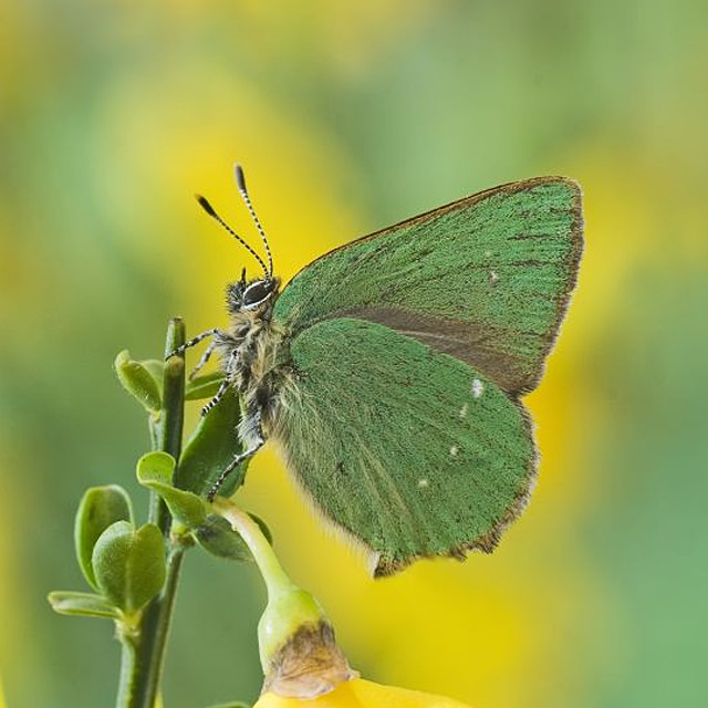 green hairstreak / Derek Middleton