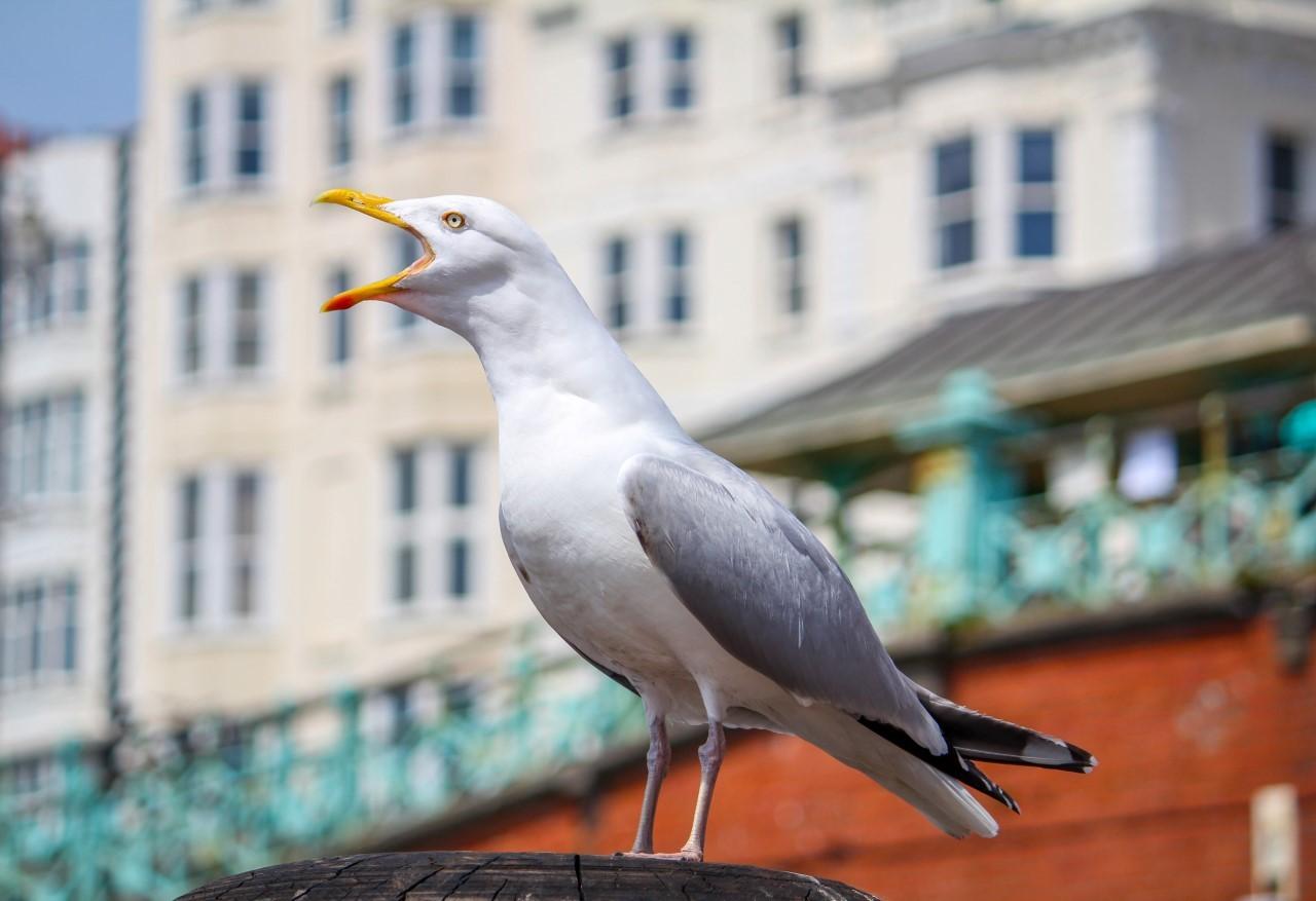 Gull brighton