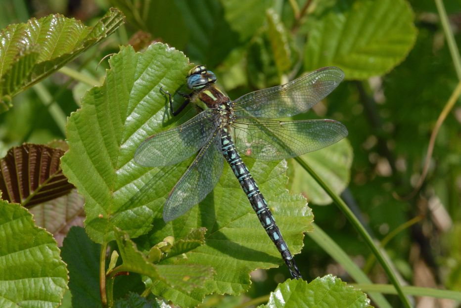 Hairy dragonfly©Dave SadlerSussex Wildlife Trust