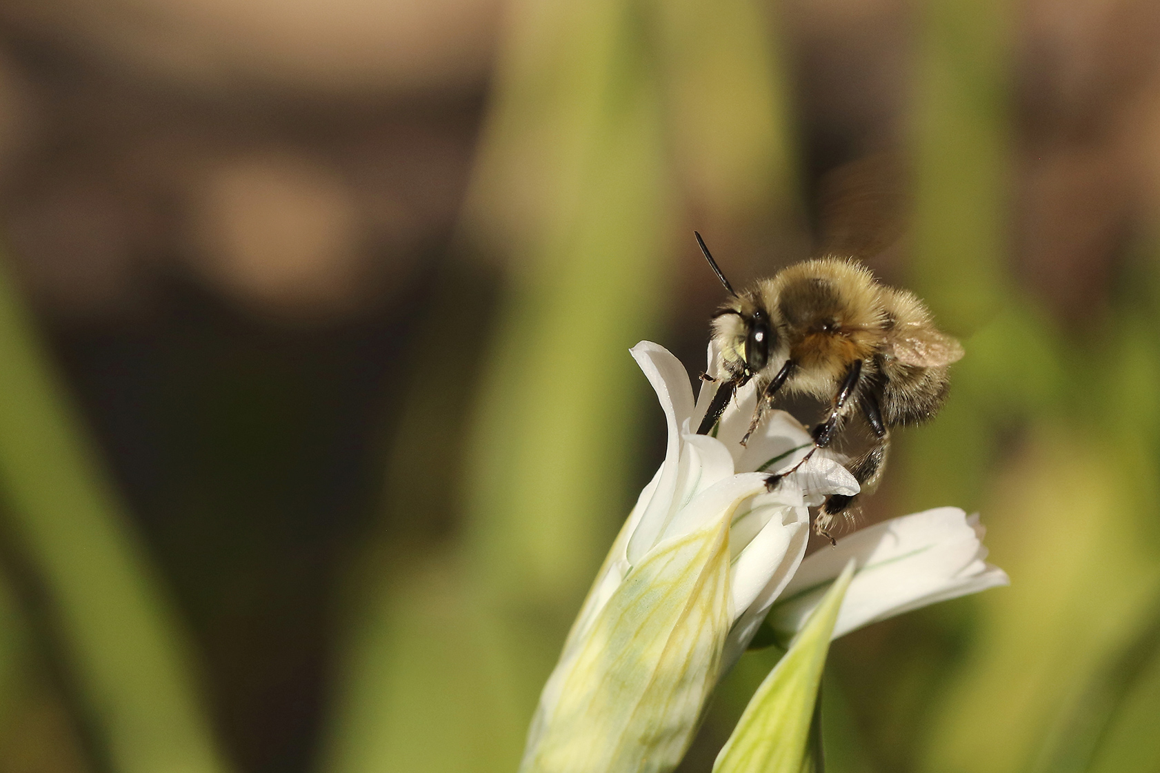 Hairy footed Flower Bee3