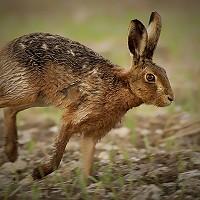 2. Hare Racer  - Sean Stones