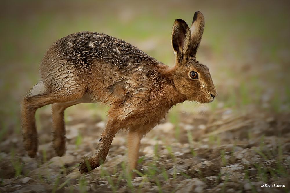 Hare Racer SeanStones