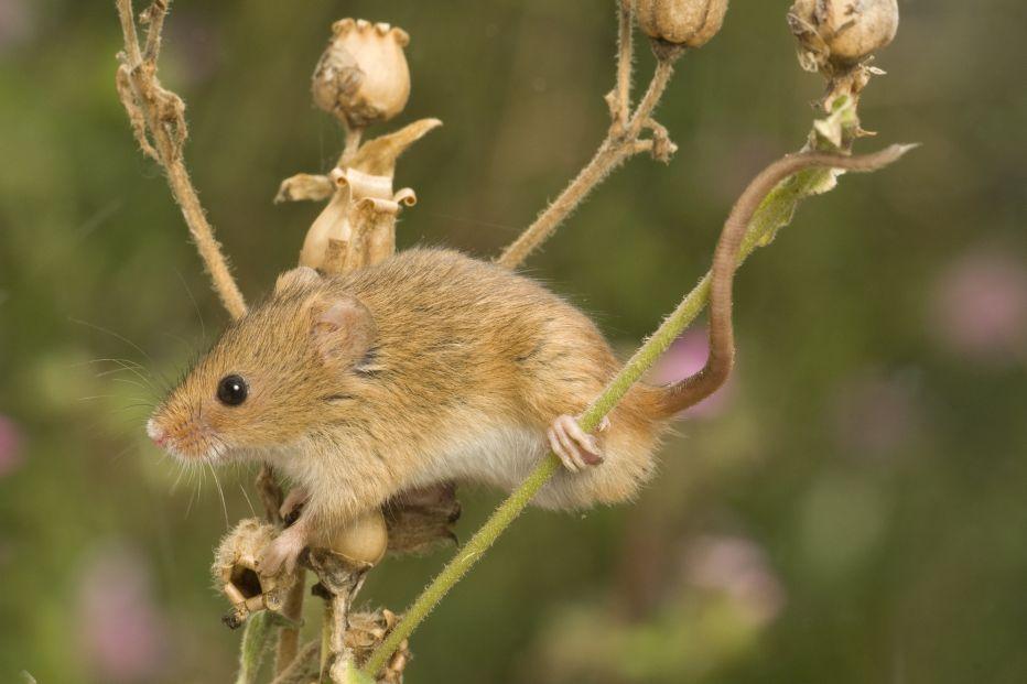 Harvest mouse Derek Middelton