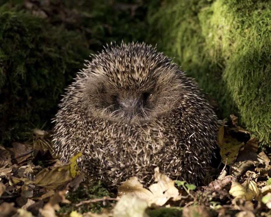 Hedgehog Hugh Clark FRPS