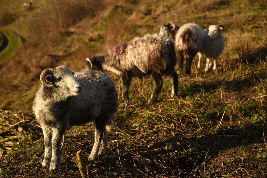 Herdwick sheep at Southerham Farm Nature Reserve©Miles DaviesSussex Wildlife Trust