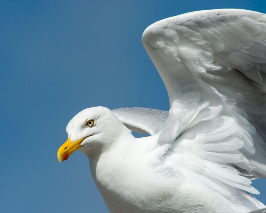 Herring Gull Nigel Symington