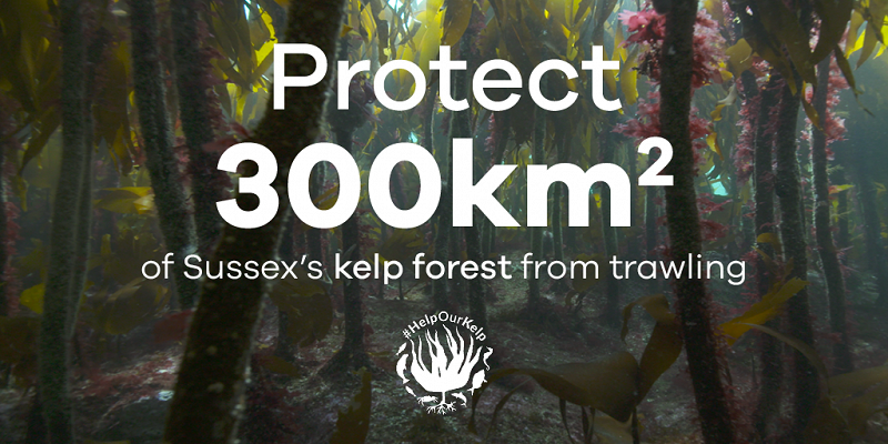 Protect 300km of Sussex's kelp forest