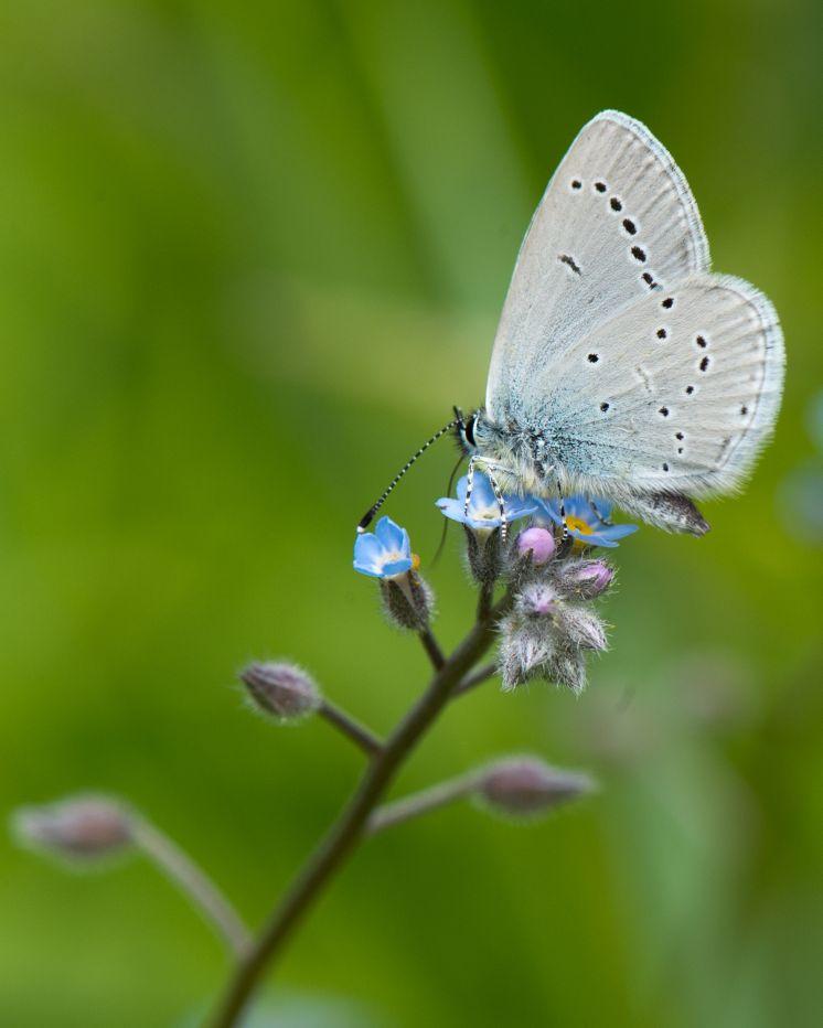 Holly Blue © Nigel Symington
