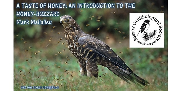 A Taste of Honey: An introduction to the Honey-buzzard