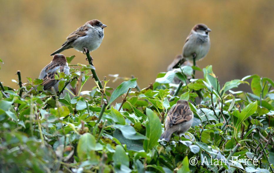 House sparrows©Alan Price, Gatehouse StudioSussex Wildlife Trust