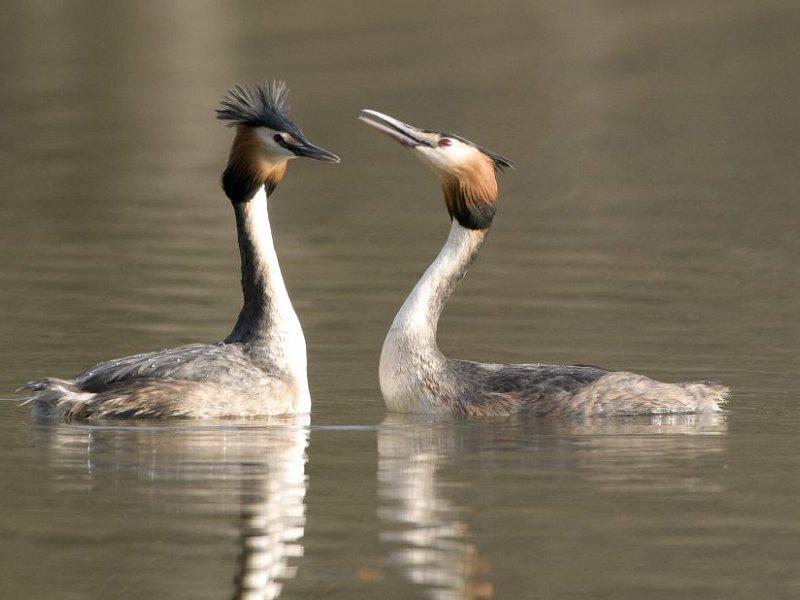 Dancing grebes