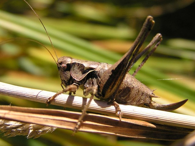 Introduction to Grasshoppers & Crickets (11/08/18)