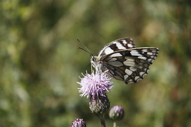 Summer Butterflies on Seaford Head (05/07/18)