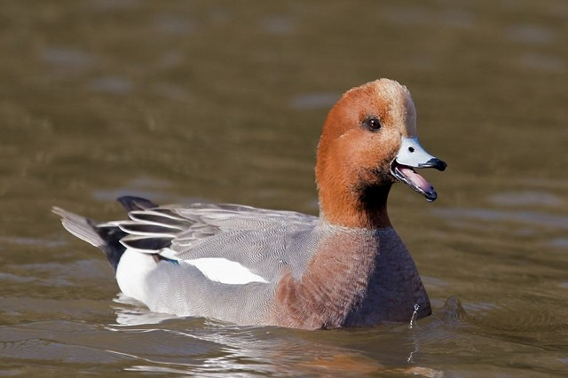 An Introduction to the Winter Wildfowl of Sussex (04/12/18)