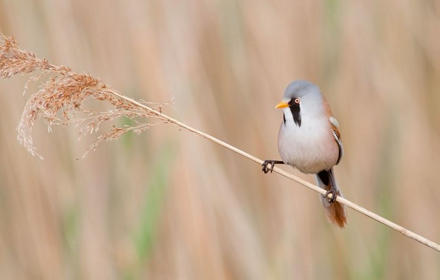 Sussex Half Day Bird Safari - Pett Level (04/09/18)