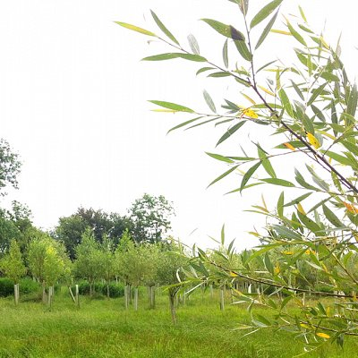 a new floodplain woodland planted with young black poplar treesd with young black poplar trees