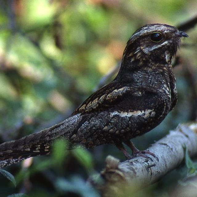 nightjar / Paul Stevens