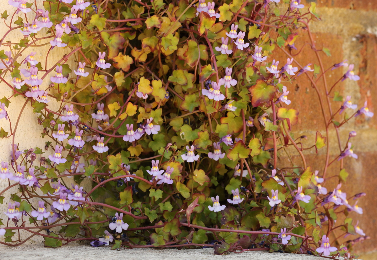 Ivy leaved Toadflax4