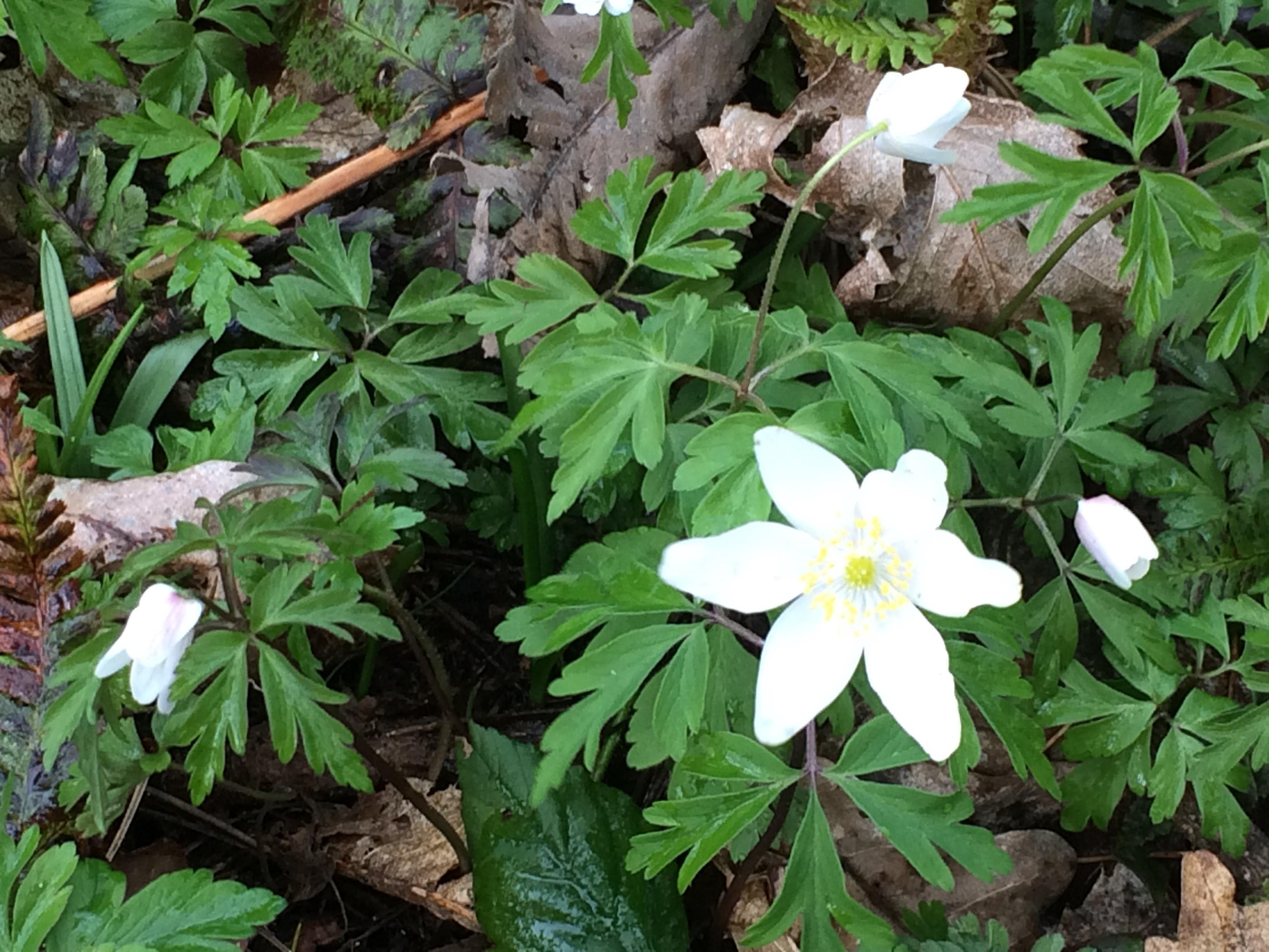 Jim Northover Flatropers wood anemone