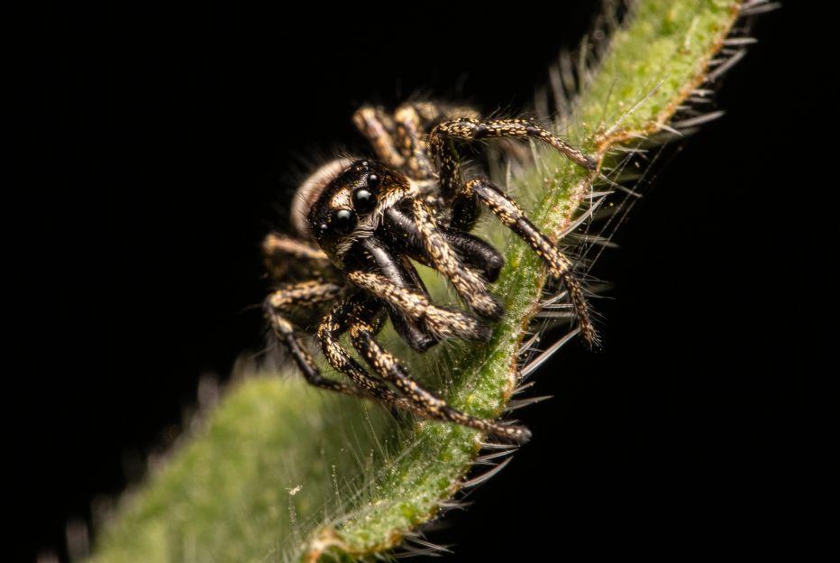 Jumping Spider©Matthew HamerSussex Wildlife Trust