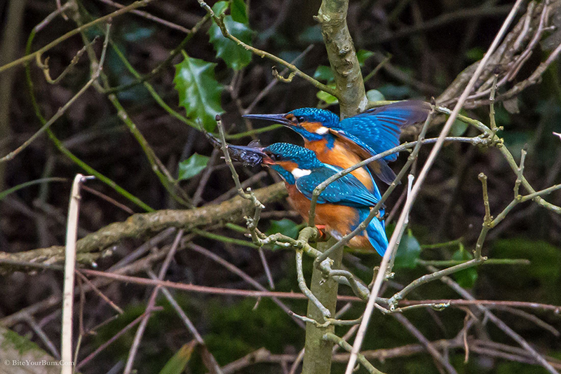 Kingfishers AlcedoAtthis SouthDownsNP WSussex 15April2013