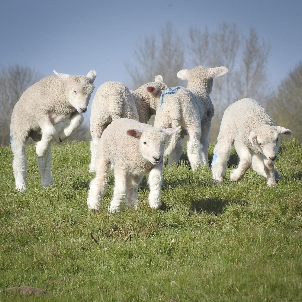 Lambs 5