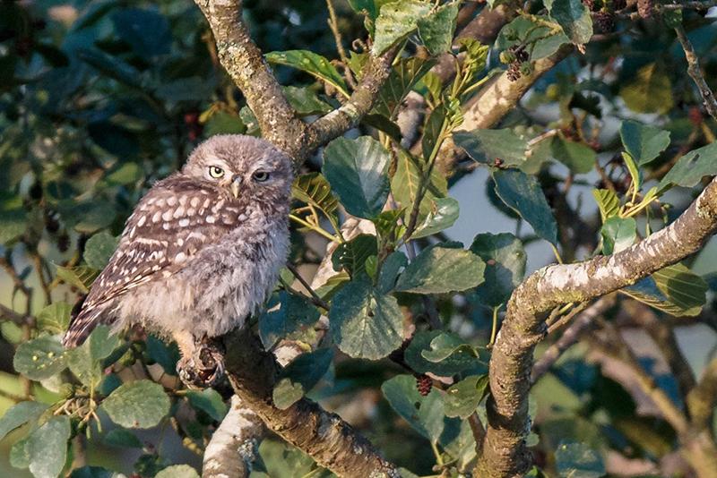 Little owl 5827