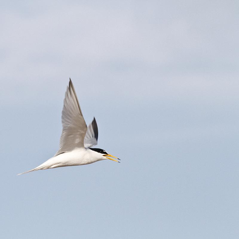 Little Tern 2©Barry YatesSussex Wildlife Trust