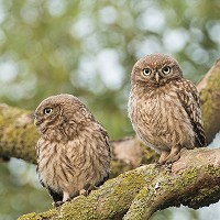 4. Little Owlets - Peter Brooks