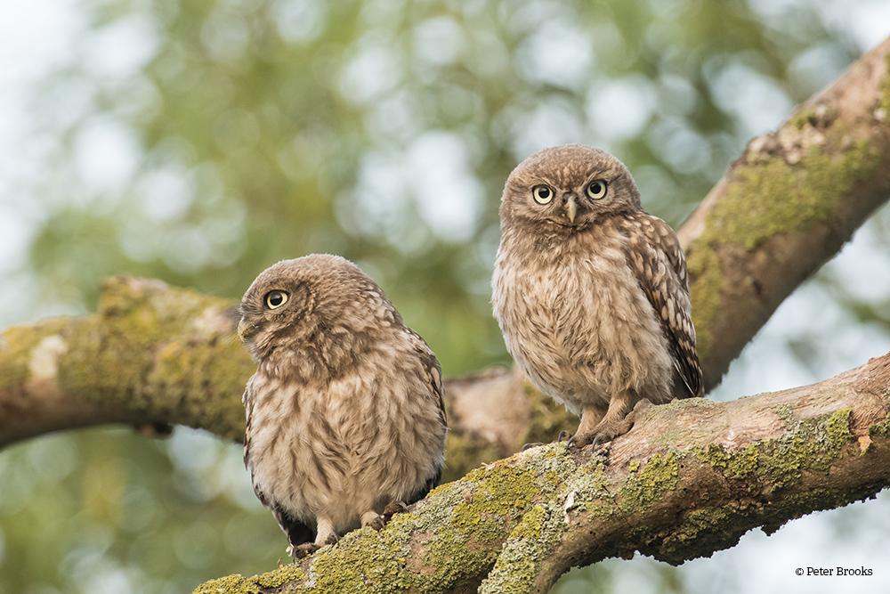 Little Owlets PeterBrooks