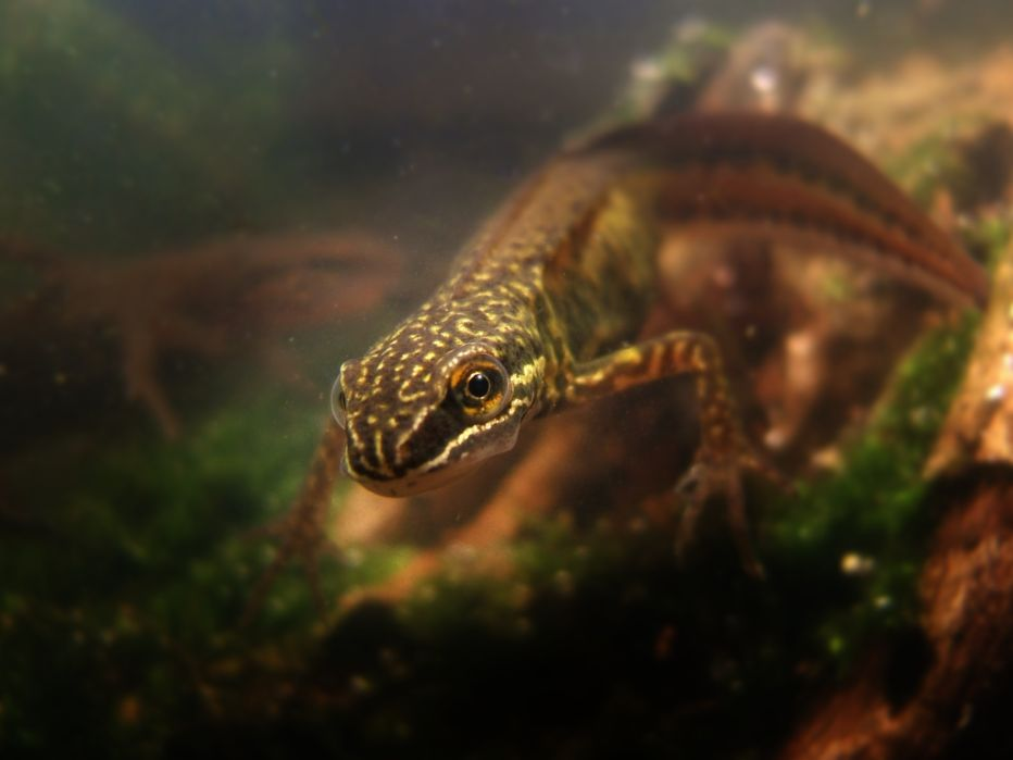 Male smooth newt©Alan Price, Gatehouse StudioSussex Wildlife Trust