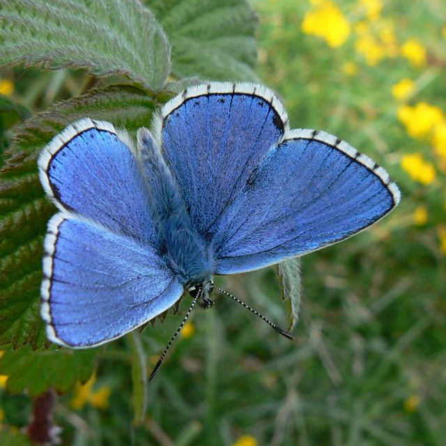 Adonis blue / Neil Hume