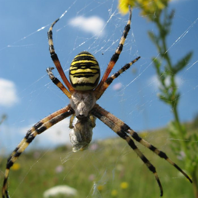 wasp spider / Victoria Hume