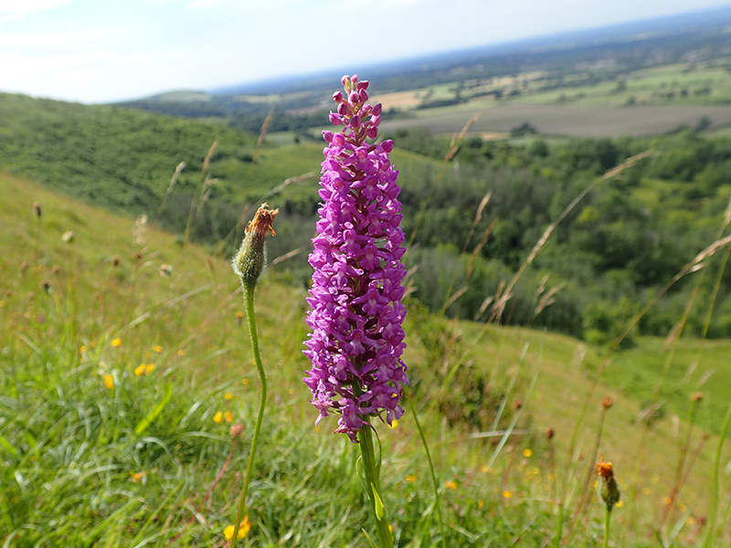 Marsh Fragrant Orchids at Ditchling