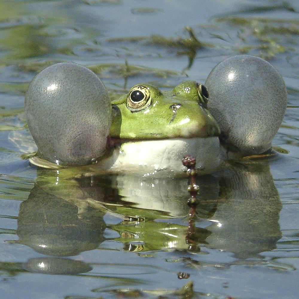 Marsh frog 4