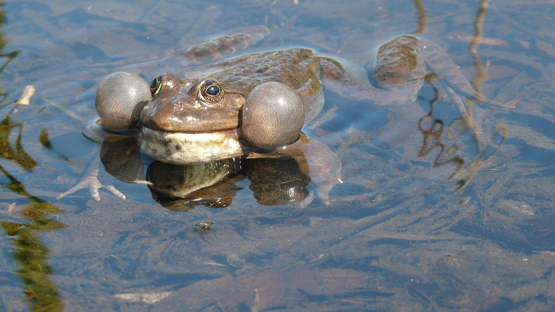 Marsh Frog calling 1130085