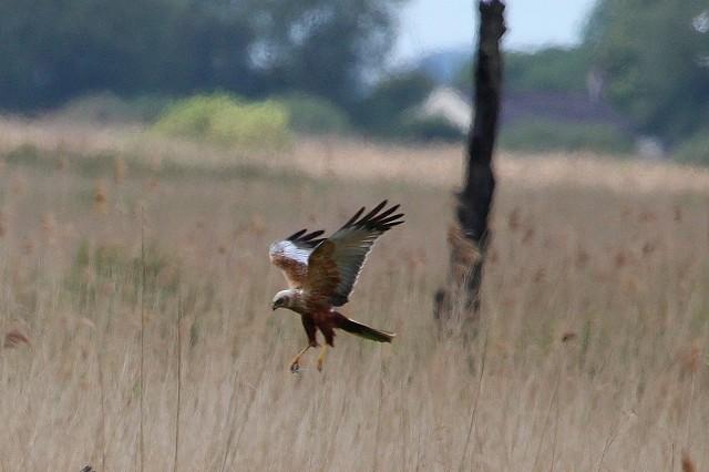 Sussex Half Day Bird Safari – Pett Levels (30/4/19)