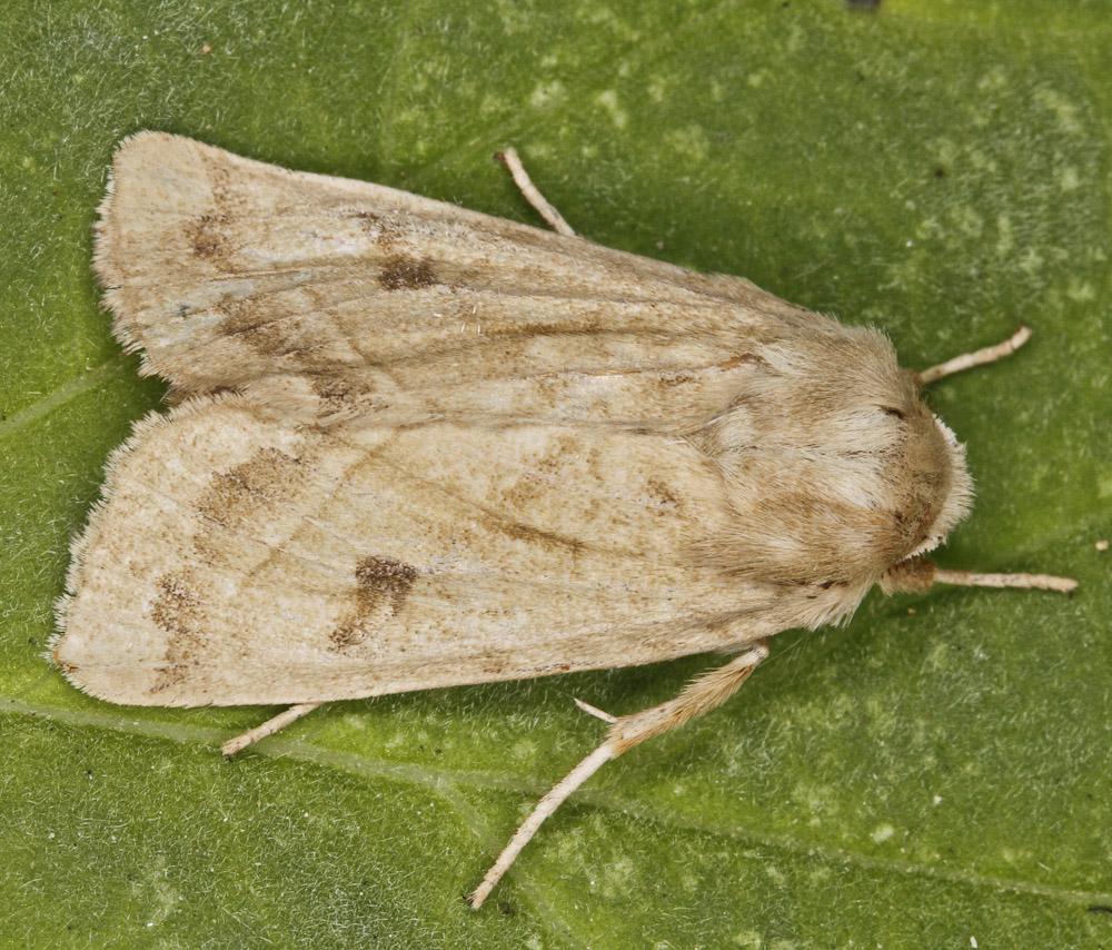 Marshmallow moth 2668
