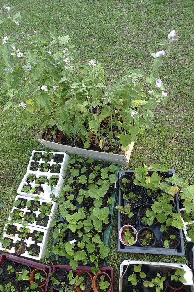 Marshmallow seedlings 1020262