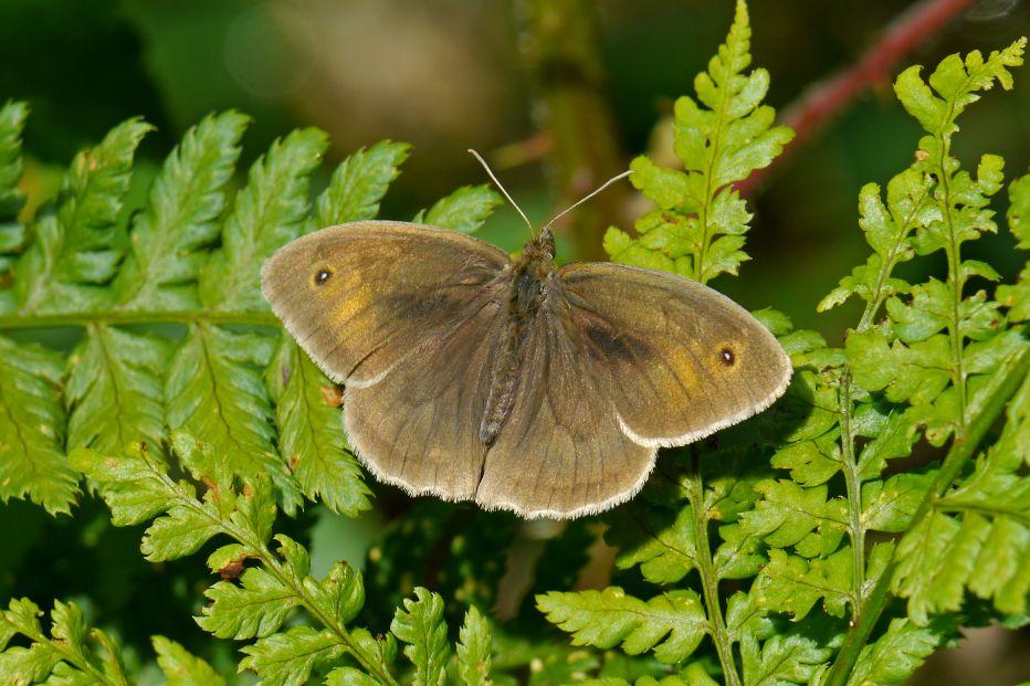 Meadow Brown   male © Roger Wilmshurst