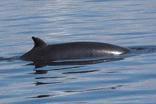 minke whale / Caroline Weir