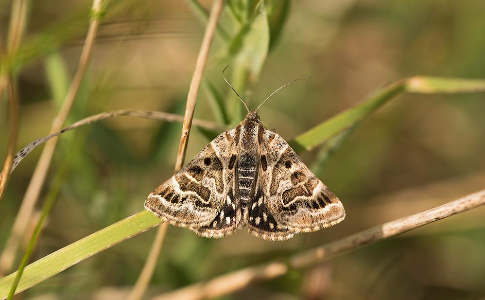 Mother Shipton moth (c) Janet Packham