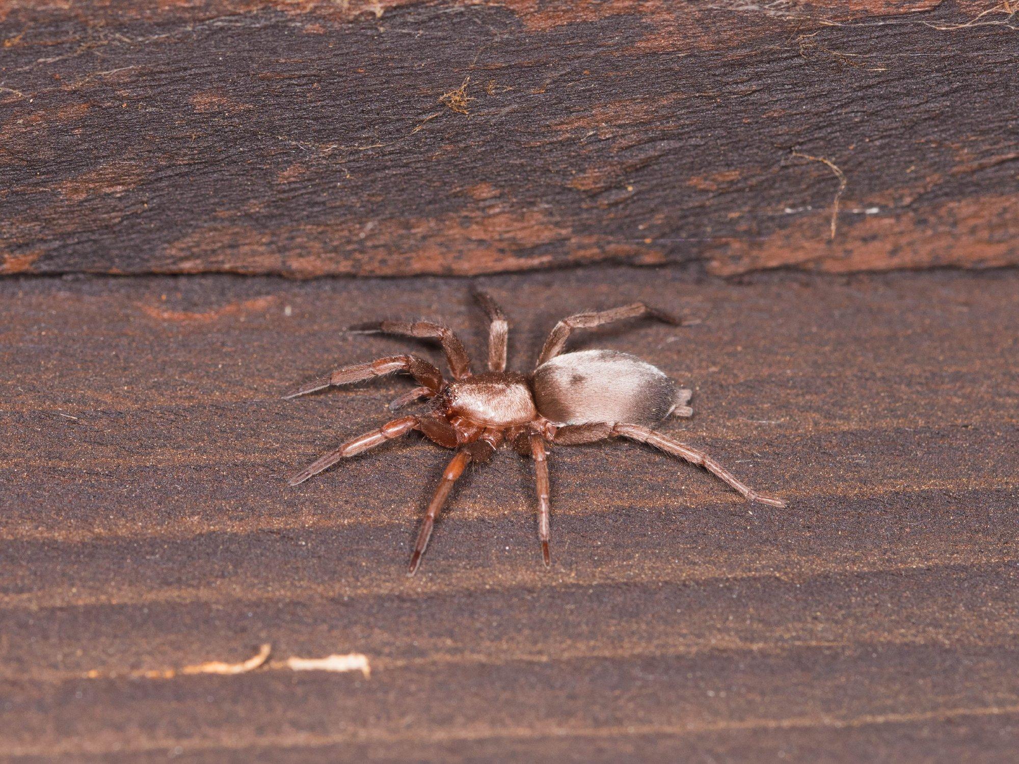 Mouse spider Brian Eversham
