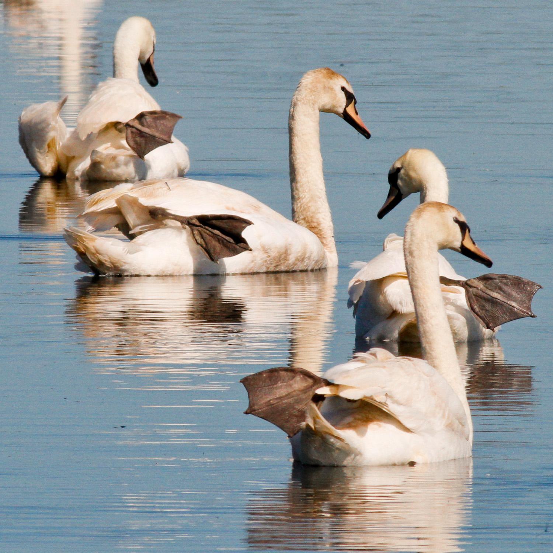 Mute Swan feet 0081