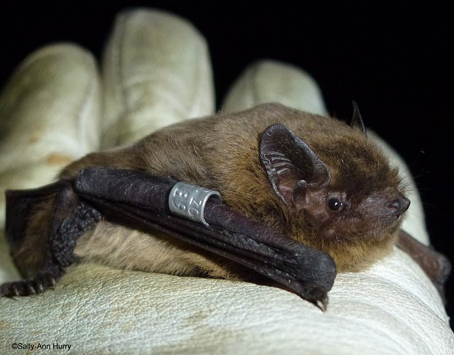 Nathusius pipistrelle