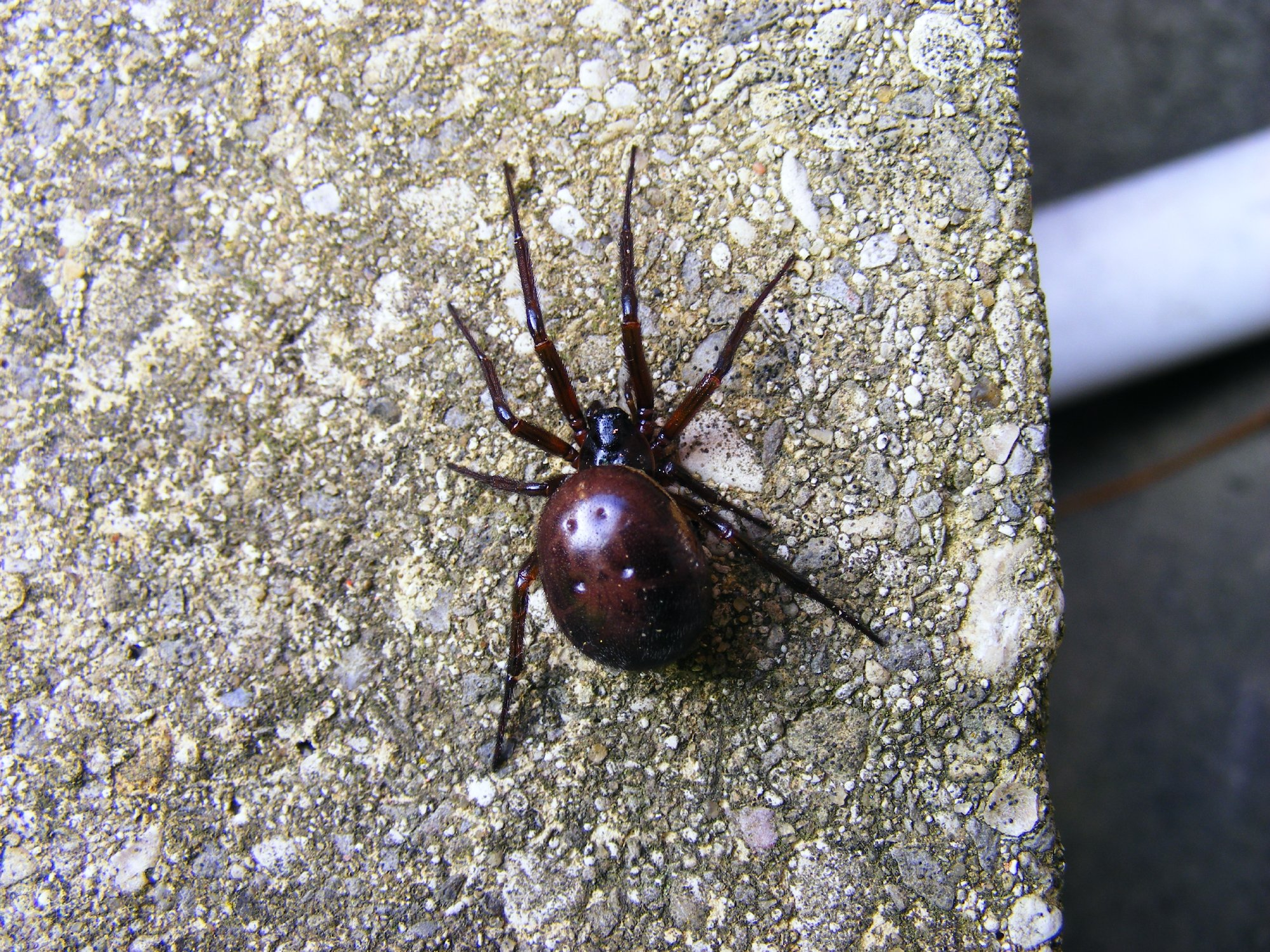 Noble false widow spider (Steatoda nobilis)