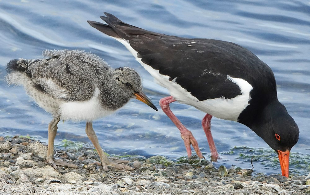Oystercatcher with large chick