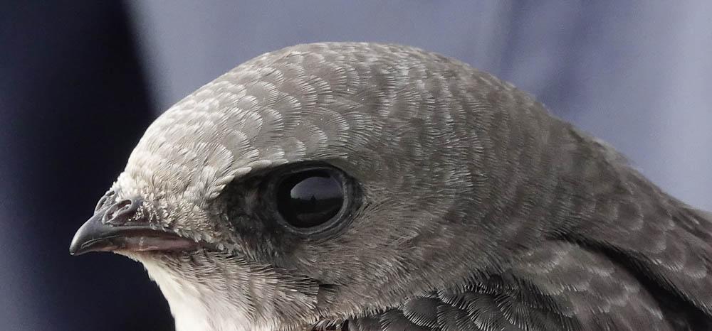 Pallid Swift c 9278