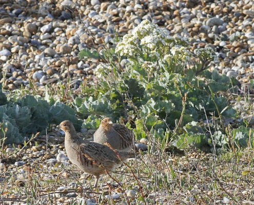 grey partridge / Barry Yates
