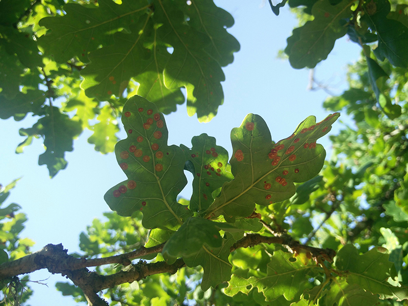 PHOTO 8 Spangle galls adorn the oak leaves Clare Blencowe